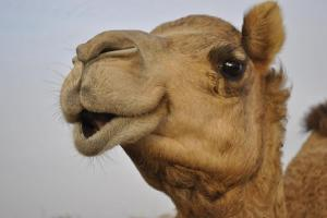 Camel_PB