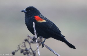 RNWR_red-winged_blackbird_01-06-09