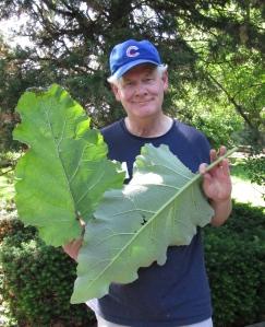 Burdock leaves-- the bigger the better.